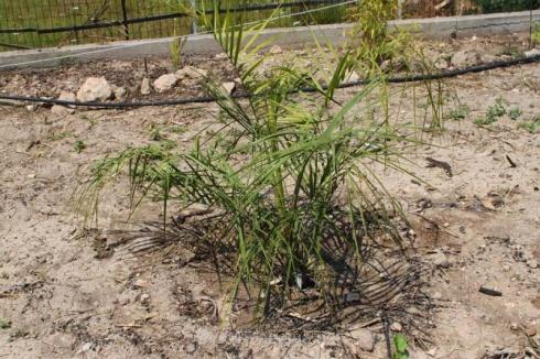 Jubaea chilensis X Butia capitata
